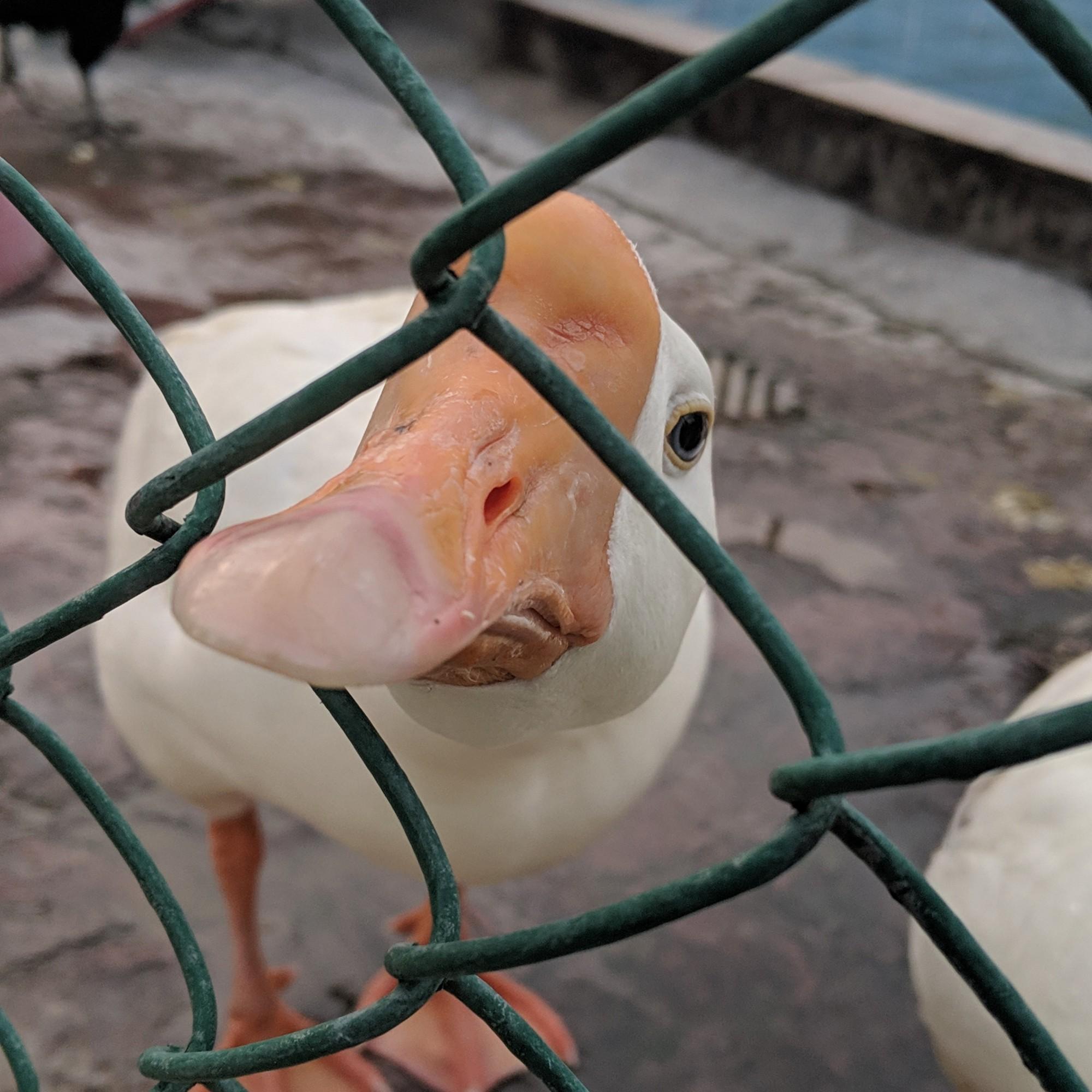 Pet duck at their farm