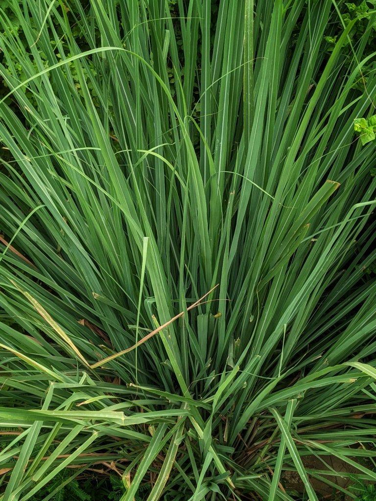 Homegrown Lemongrass